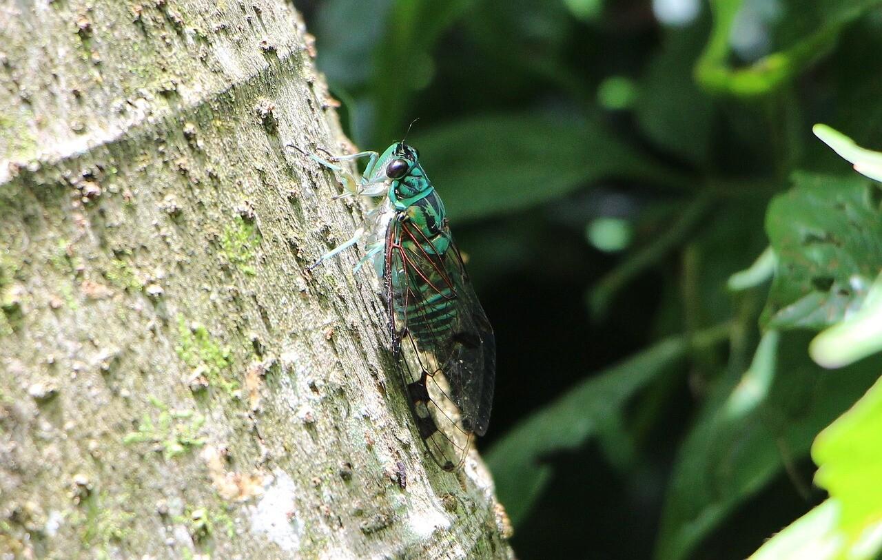 صور لـ #حشرة #الزيز #أخضر #بالنسبة_الى #كوستاريكا