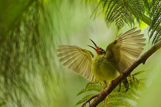 Spectacled Spiderhunter, calling and flapping its wings in an attempt to get parents' attention