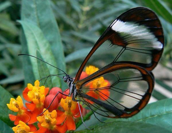The transparent butterfly