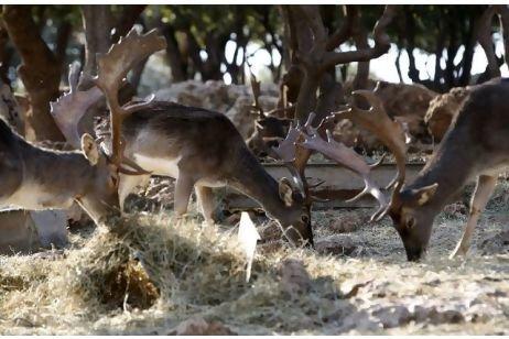 الغزلان البرية في محمية #عجلون #الأردن