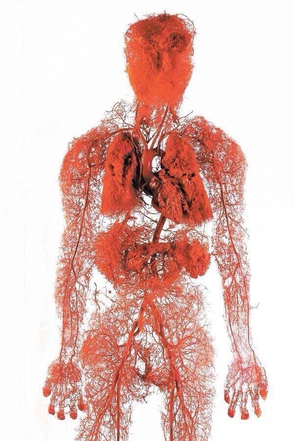 صورة لجسم #الإنسان تم تصويرها بتقنية تظهر فيها شرايين الدم فقط