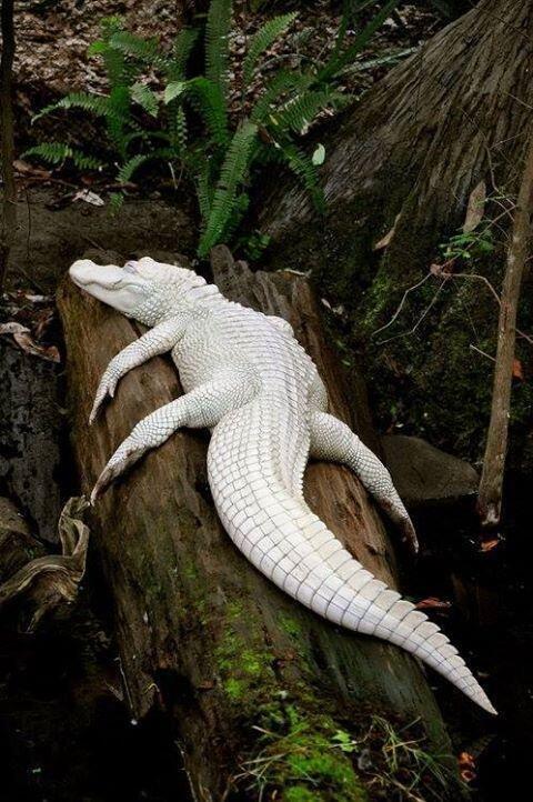 نوع نادر من التماسيح يطلق عليه albino
