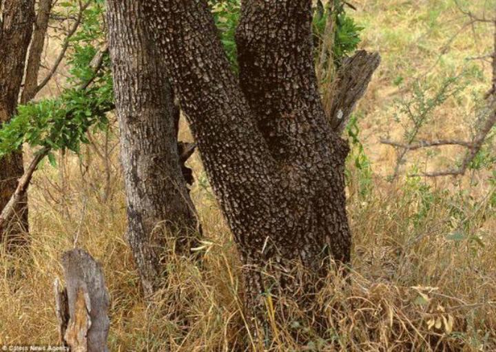 حاول أن تجد النمر في الصورة #لغز