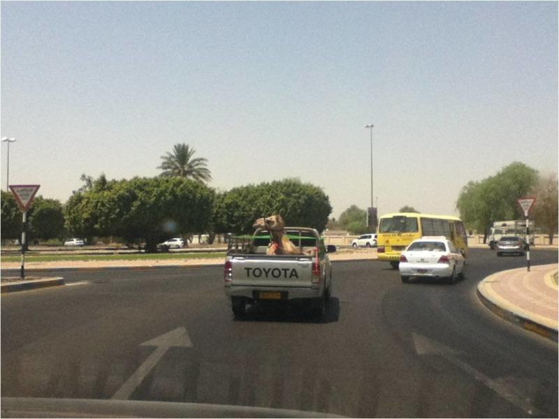 جمال هاي الأيام مش مثل زمان - The camel is taking a ride :)