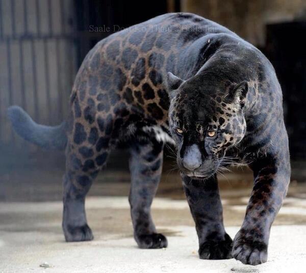 Balck Panther