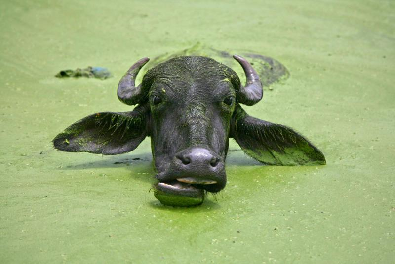 A buffalo cools off in a pond in the outskirts of Jammu in Kashmir #Nature