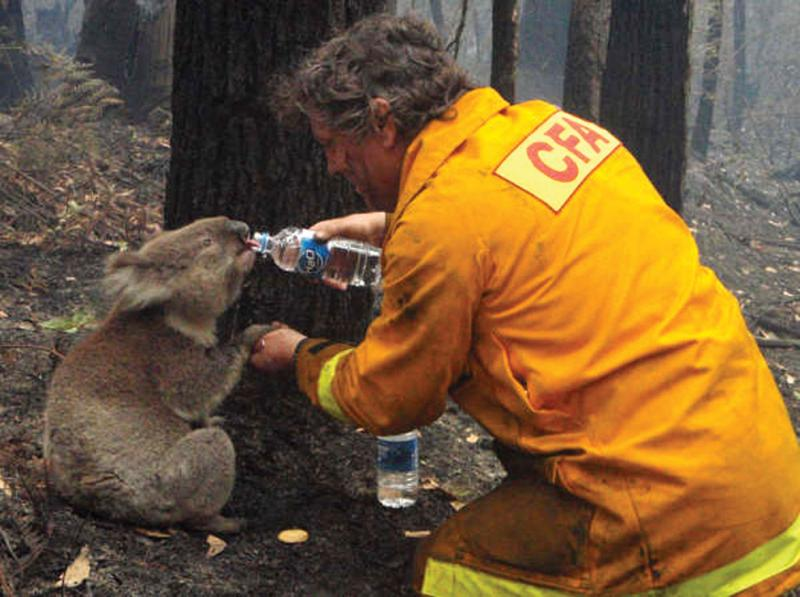 A firefighter gives water to a koala during the devastating Black Saturday bushfires that burned acr