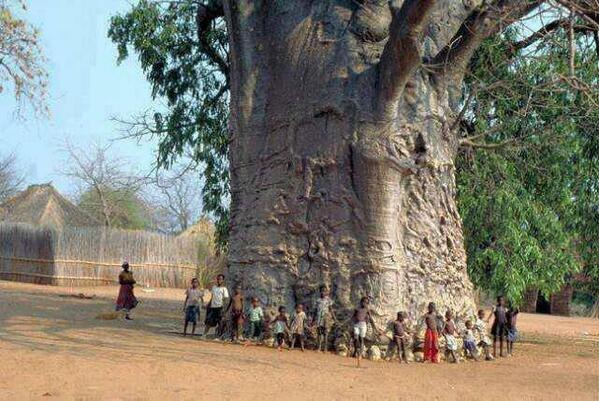 شجرة عمرها 2000 سنة في جنوب افريقيا