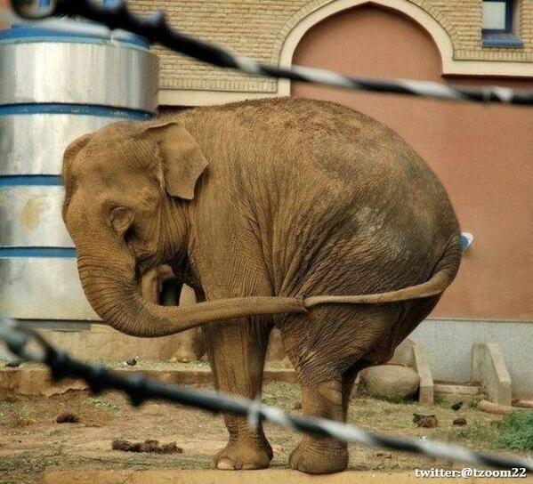 يُعبر الفيل عن احساسه بالوحدة عن طريق مسك ذيله بخرطومه.