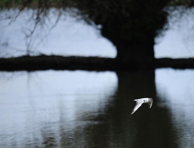A water bird flies over a Danube Delta canal next to Tulcea city, east of Bucharest #Nature