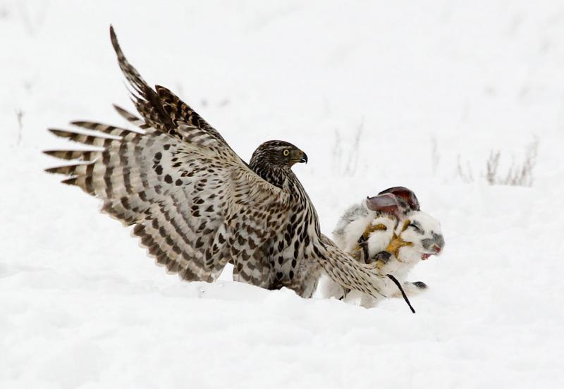 A hawk attacks a rabbit #Nature