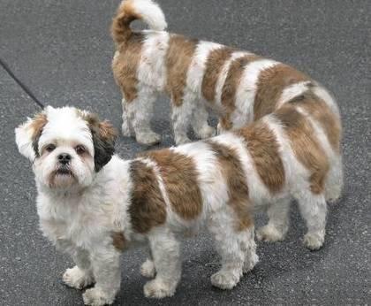 كلب ليموزين