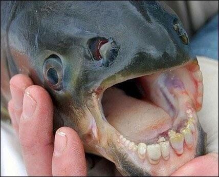 Pacu Fish,a kind of fish with human like teeth