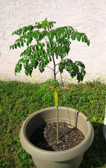شجرة المورينجا والمستخدمة للسكري و ال #تخسيس