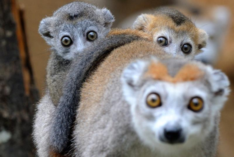Two 3-month-old crowned lemurs lay on their mother's back at the zoo in Mulhouse, France #Nature
