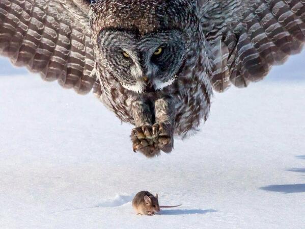 Owl and Mouse, Minnesota, USA