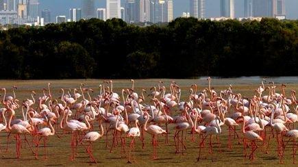 طيور النحام في رأس الخور للحياة البرية في #دبي