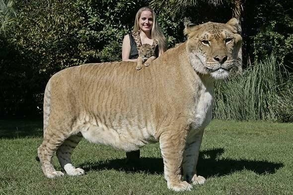 Liger is the son of a Lion and a Tigress
