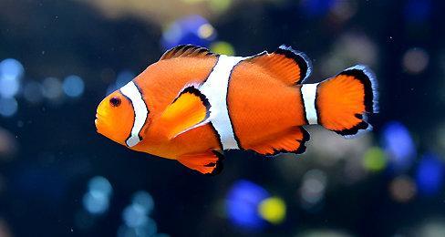 سمكة المُهرج