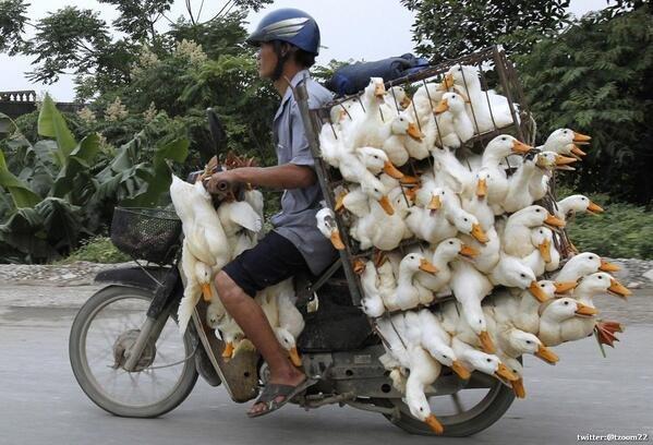 صورة طريفة لـ نقل البط في الصين ..!
