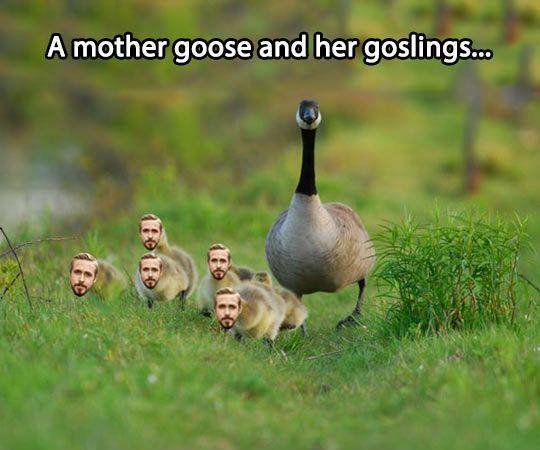 A mother goose and goslings