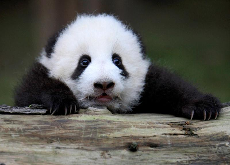 A giant panda cub holds on to a log at the Chengdu Research Base #Nature