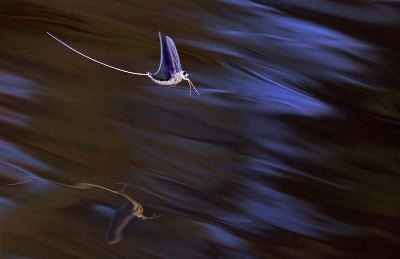 Long-tailed mayflies mate on the surface of the Tisza river near Tiszakurt, Hungary #Nature
