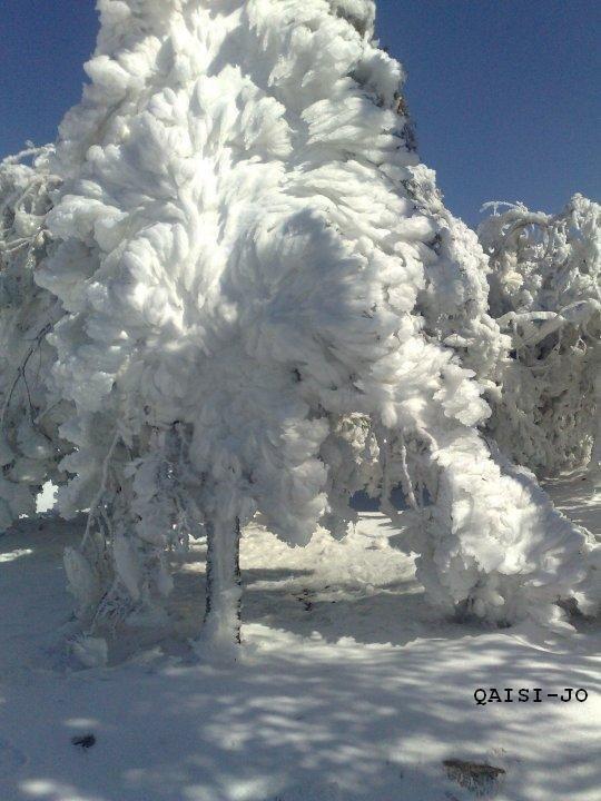 شجرة متجمدة في #الطفيلة #الأردن في موسم الثلج