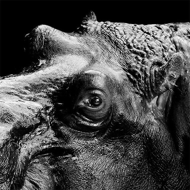 #سيلفي للحيوانات بالأبيض والأسود - فرس النهر