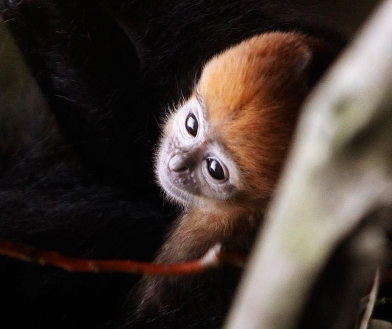 Tam Dao,a 2-week-old Francois leaf monkey,is presented to the media at Taronga zoo in Sydney #Nature