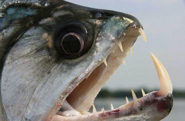 سمكة palometas المفترسة آكلة اللحوم التي تعيش في نهر بارانا بالأرجنتين