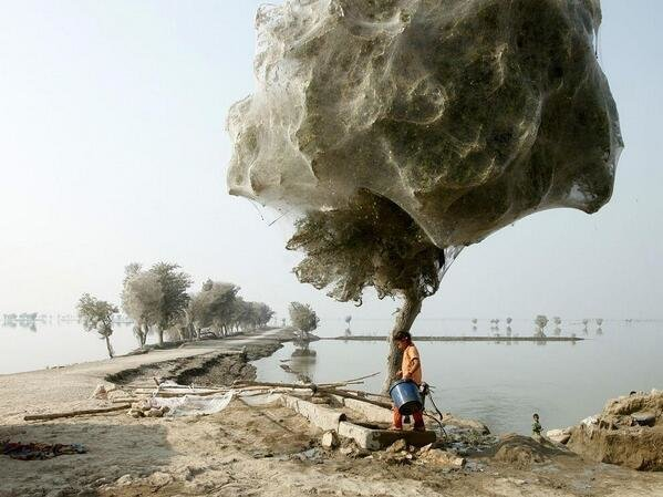 Millions of spiders climbed up into the trees to escape the rising flood waters in Pakistan