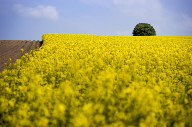 Rapeseed blooms in a field near Prevonloup, Switzerland #Nature