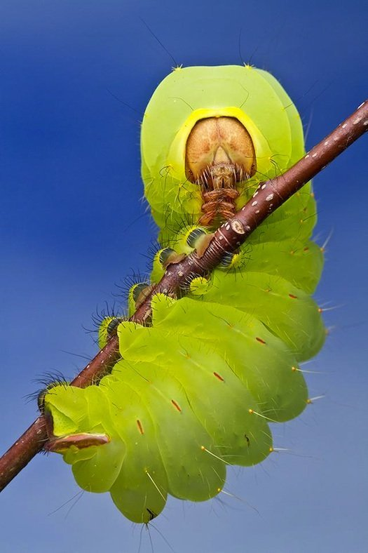 caterpillar in Duke Forest, North Carolina