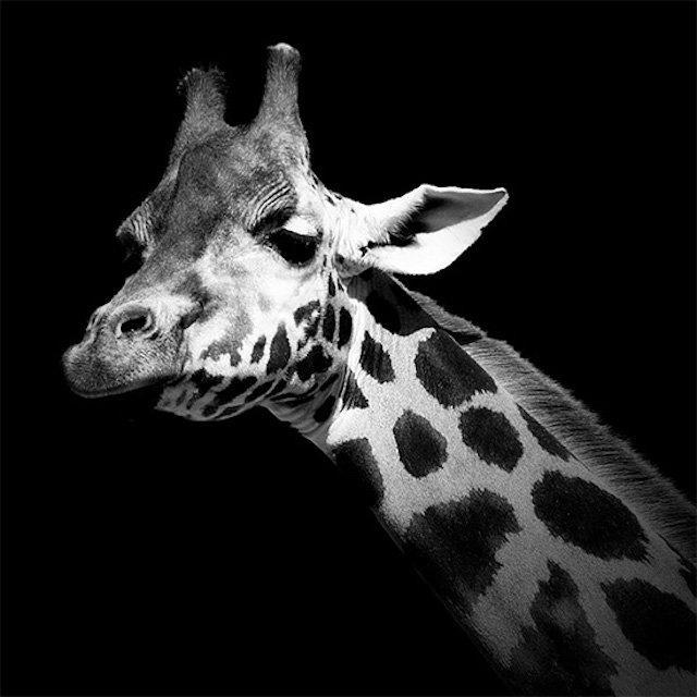 #سيلفي للحيوانات بالأبيض والأسود - الزرافة