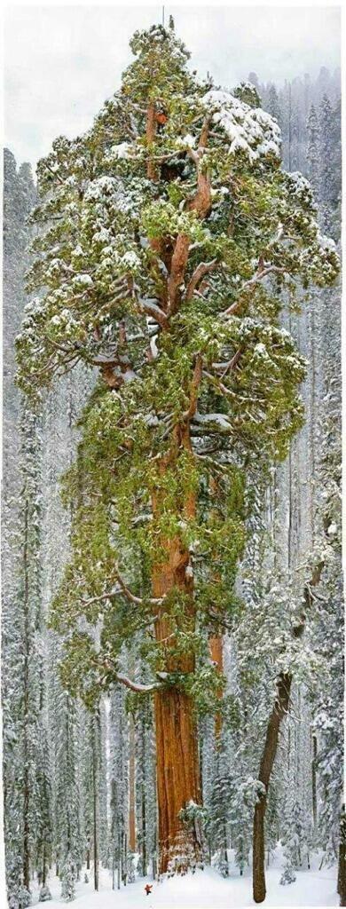 شجرة ضخمة جدا - لاحظ الشخص الواقف أسفلها