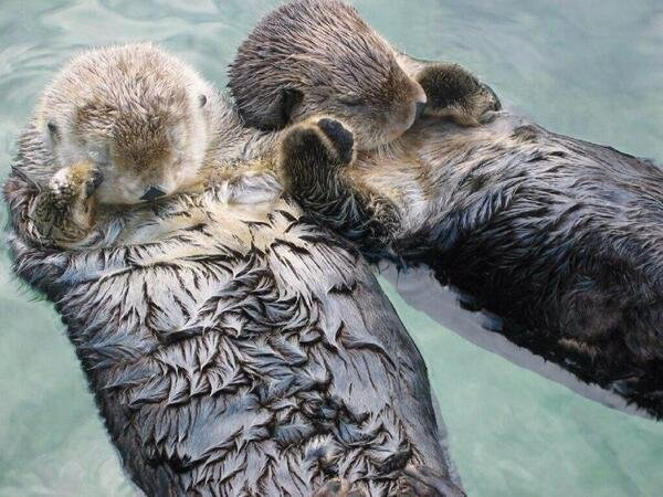 Did you know that Sea Otters hold hands while sleeping so they don't drift away from each other