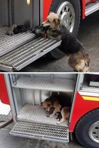 كلبة تنقذ جراءها من حريق وتضعهم في سيارة الإطفاء