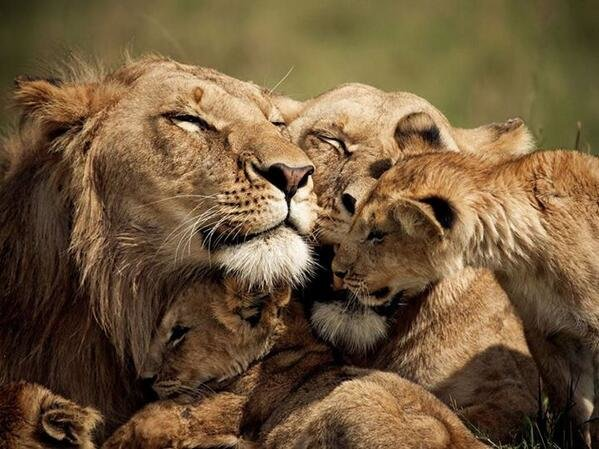 Lion Family spending some quality time together, Kenya