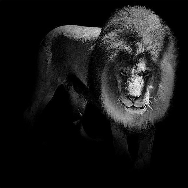#سيلفي للحيوانات بالأبيض والأسود - الأسد