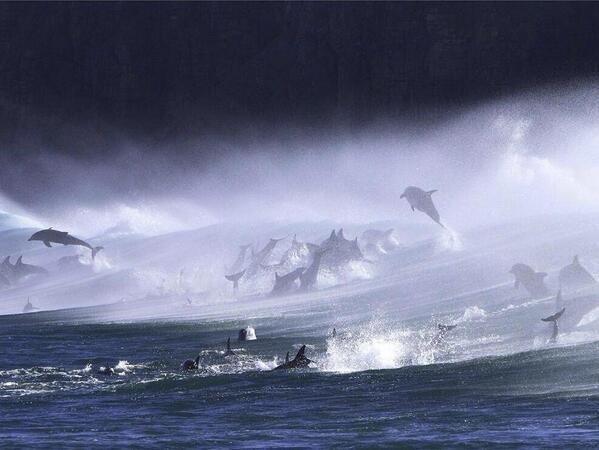 Bottlenose Dolphins in Surf, South Africa