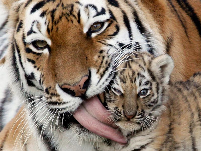 A female Amur tiger, Iris, licks its 7-week-old cub during one of their first walks #Nature