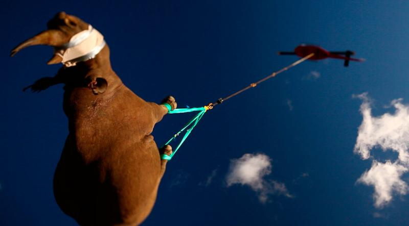 A black rhino is transported by helicopter in South Africa #Nature