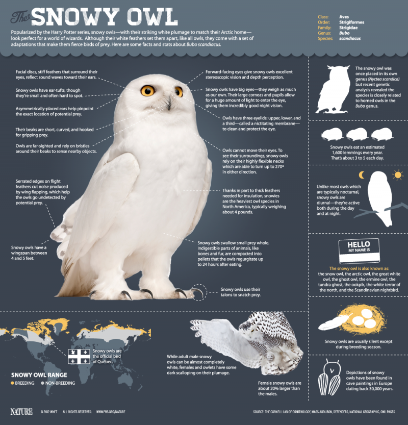 The Snowy Owl #infographic