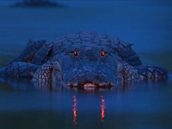 نظرات قاتلة لملك النهر (التمساح) التقطها المصور Larry Lynch ليلاً في نهر مياكا بولاية فل