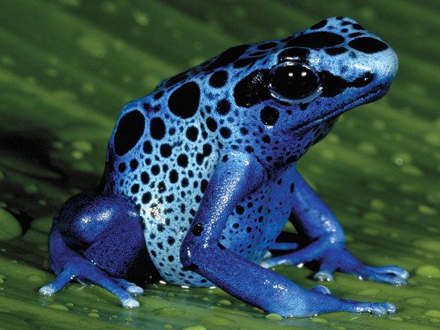 الضُفدع الأزرق السام