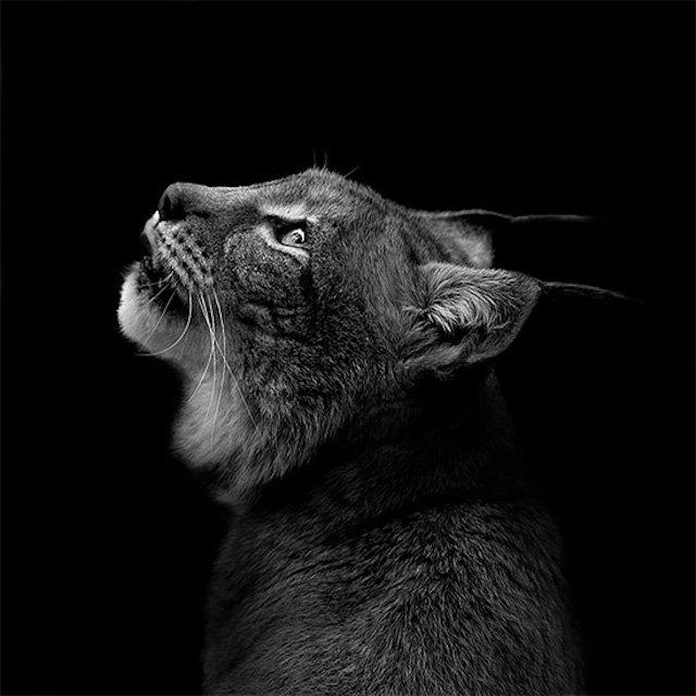 #سيلفي للحيوانات بالأبيض والأسود - الوشق البري