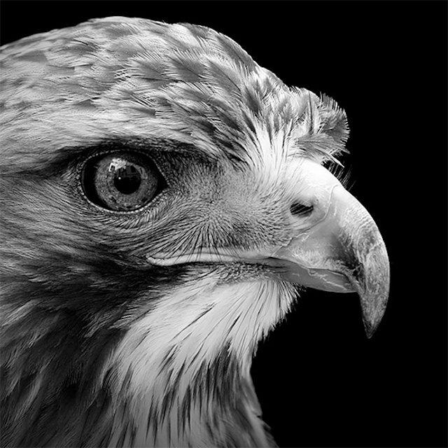 #سيلفي للحيوانات بالأبيض والأسود - نسر