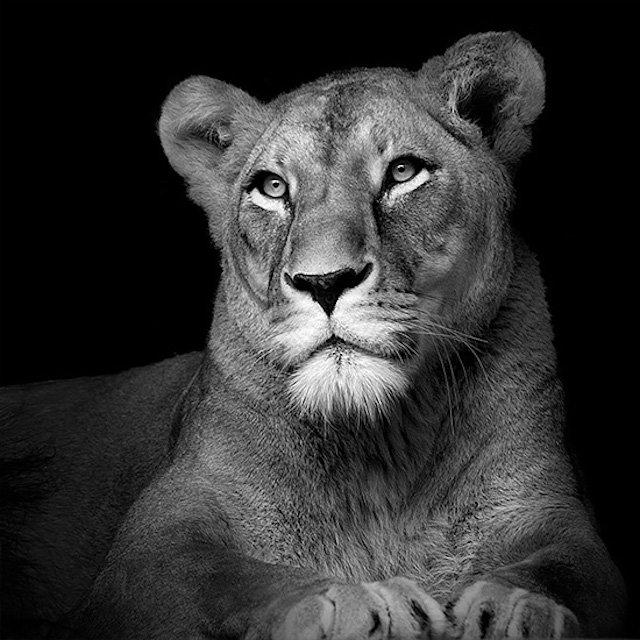 #سيلفي للحيوانات بالأبيض والأسود - لبؤة