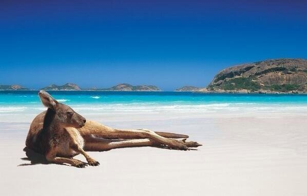 Kangaroo chilling on the beach. Perth, Australia